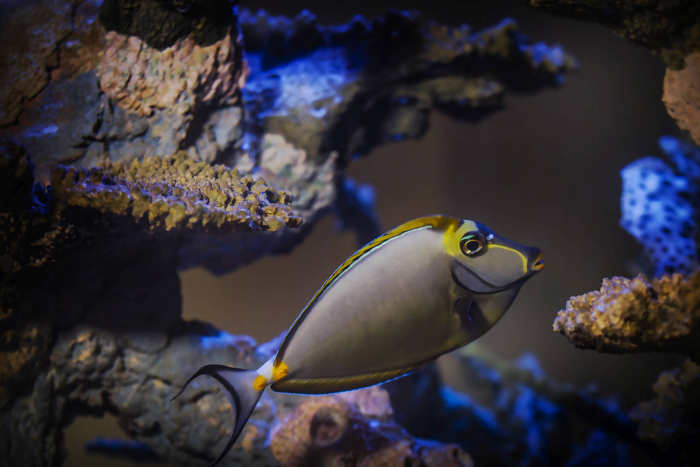 Yellow Fish Swimming in an Infinity Aquarium Design Tank